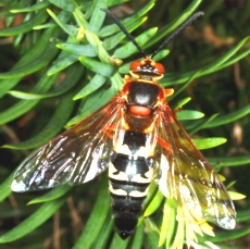 cicada Cicada Wasp