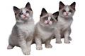 ragdoll Ragdoll Cats