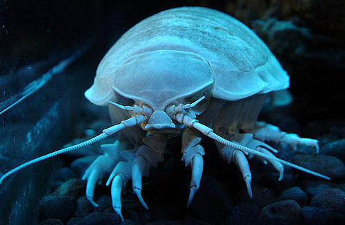 Giant isopod 20 Species You Dont Want To Meet