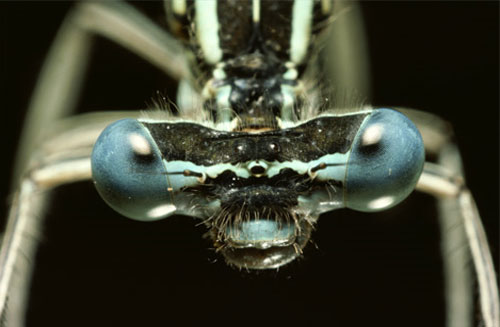 blue eyed dragonfly 20 Species You Dont Want To Meet