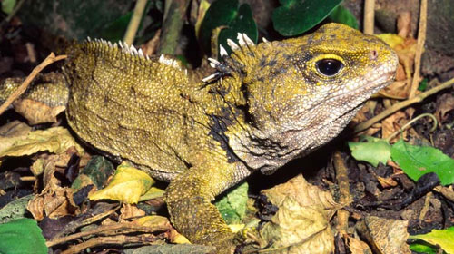 tuatara1 8 Creatures That Outlive Humans