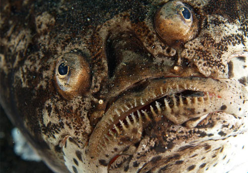 The stargazers are a family Uranoscopidae of perciform fish that have eyes on top of their heads (thus the name)