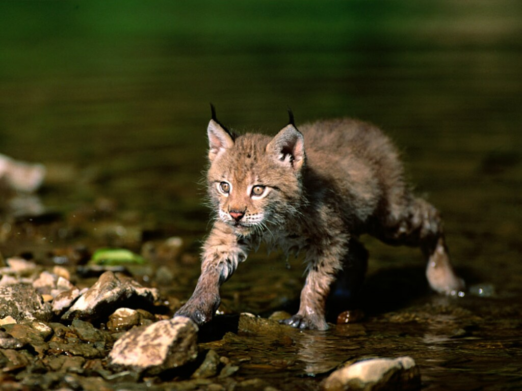Eurasian Lynx kitten in shallow water