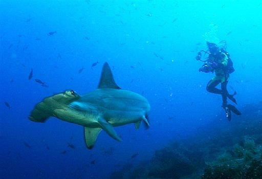 adiverphotog Great Hammerhead Shark