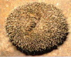 """The """"ball"""" defense indeed leaves no vulnerable place on the Hedgehog's body"""