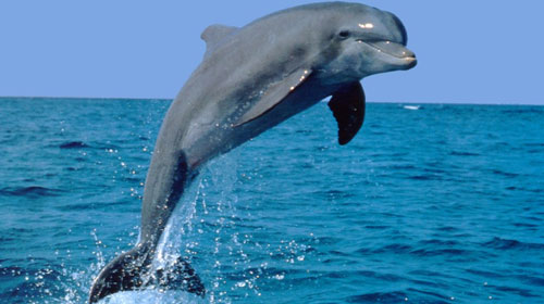 dolphinlife 9 Animals That Saved Human Lives