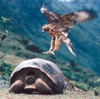 A hawk landing on a Galapagos Tortoise