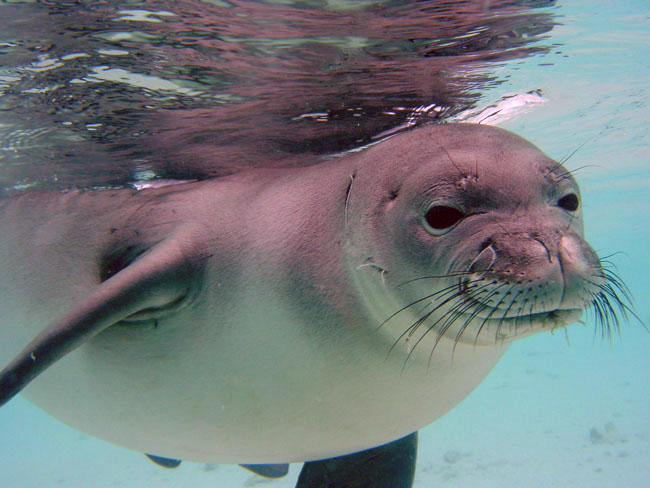 A Hawaiian Monk Seal in shallow tropical waters