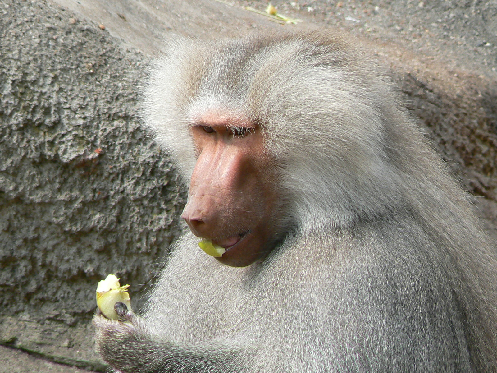 Hamadryas Baboon eating an apple