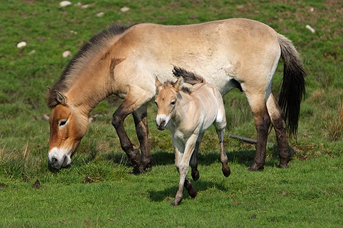 A Przewalski's Horse mare with her offspring