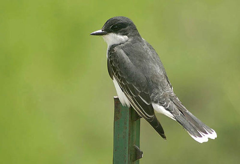 Eastern Kingbird looking for flies