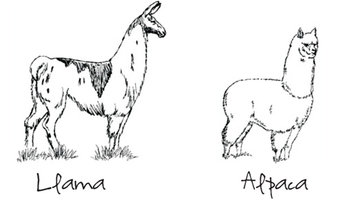 A drawing showing differences between Llamas and Alpacas