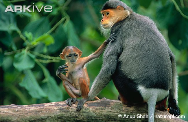 Red-shanked Douc mother with a baby