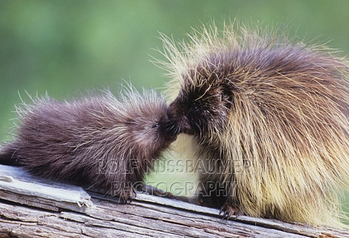 A porcupine female with her offspring