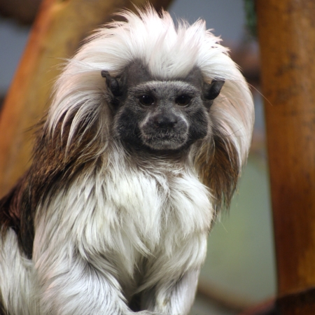Cottontop Tamarin's spectacular coat makes it a very beautiful animal