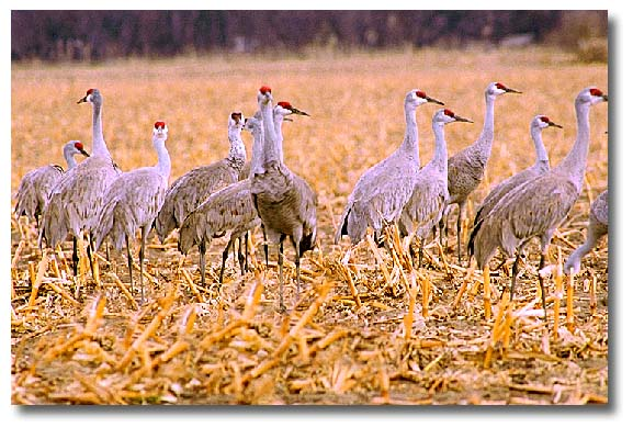 A group of Sandhill Cranes in a farm territory