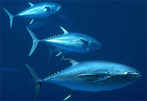 3 Yellowfin Tuna
