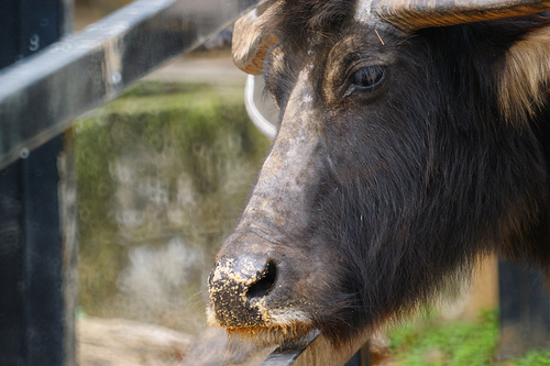 Get up close and personal with a Water Buffalo