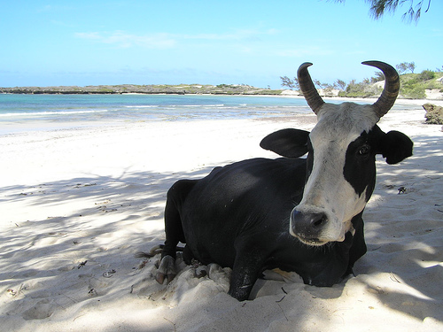A lucky zebu having a cowliday