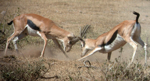 Althoug the Thompson's Gazelles look fragile, they are quite aggressive