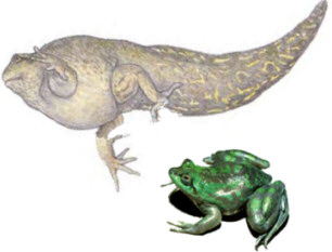 A drawing showing size ratio of a tadpole and a mature Paradoxal Frog