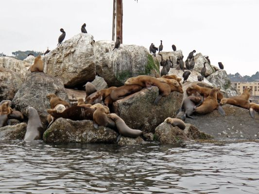 California Sea Lions can live in colonies of up to even multiple thousand individuals