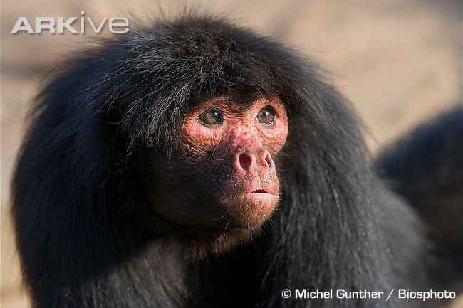 "They're also sometimes called ""Red Faced Monkeys"" because of the facial colour of some individuals"