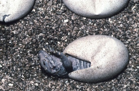 A Common Iguana hatching