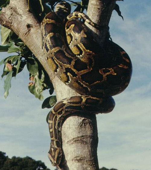 Indian Pythons often climb trees to rest or set up an ambush