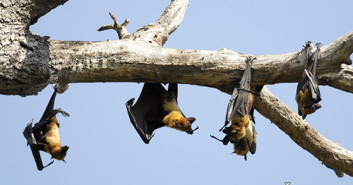 A few Indian Flying-foxes sleeping in a tree