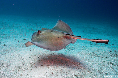 Southern Stingray swimming in the crystal blue waters