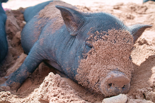 Oops, this little pot-bellied piggy has got sand on its face!