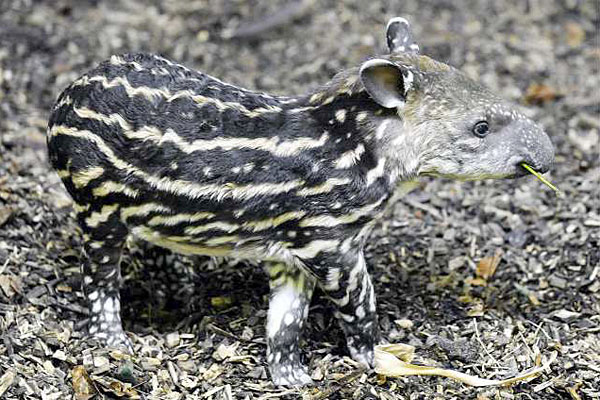 Young Tapirs have special stripes on their flanks that provide great camouflage in the jungle