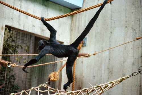 Black-headed spider monkey at the Cleveland Zoo
