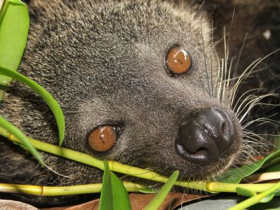 Binturong's pupils become so narrow at day that they look like small black stripes