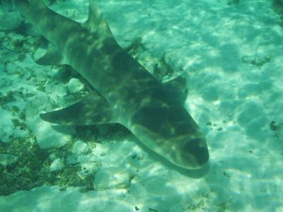 Young Lemon Sharks are a miniature of their parents and they start hunting independantly already after birth