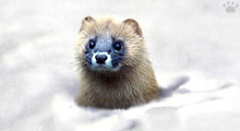 The Siberian Mountain Weasel in Japan