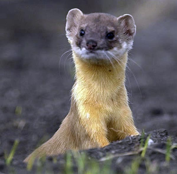 The Weasel often stops and takes a look around