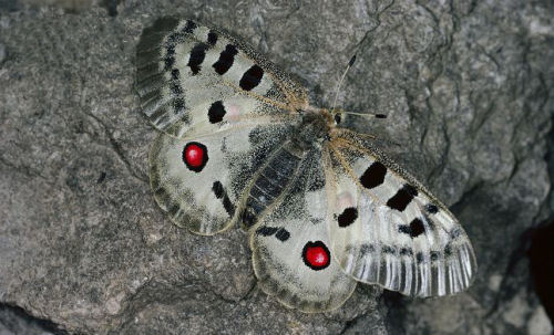 The red dots on the butterfly's wings serve as a great defense from birds and other predators