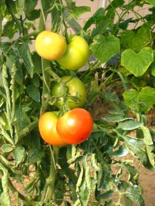 Tomatoes are commonly grown in gardens
