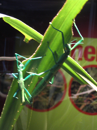 3541563985 76eff5efd2 Peppermint Stick Insect
