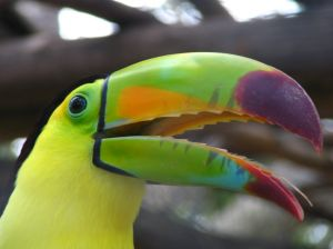 Toucans are known for their colourful beaks