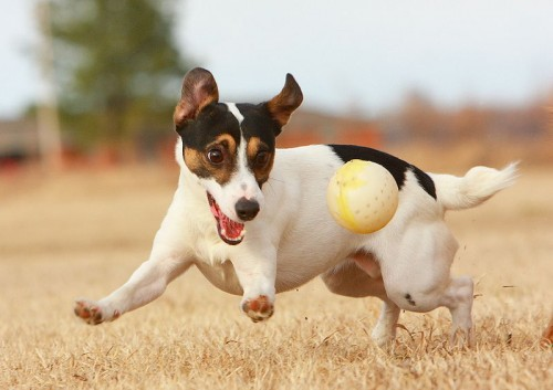 Jack Russell terriers are playful dogs