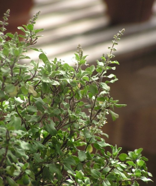 Holy Basil is an aromatic plant
