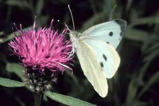 pibr Cabbage Butterfly
