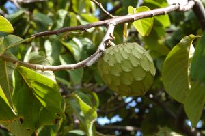 A custard apple fruit hanging on a tree
