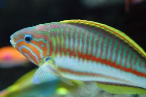 A colourful wrasse