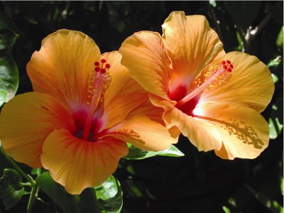 Orange hibiscus flowers