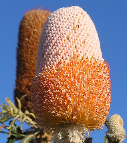 2471819049 42fdbfbd8c Acorn Banksia