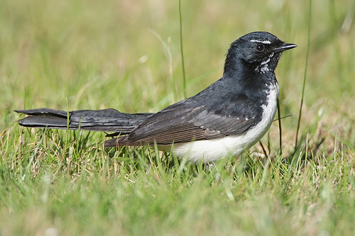 2760631357 8998b8e842 Willie Wagtail
